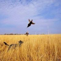 Охота на выпускного фазана: Экономика, история, традиции разведения фазанов и современное фазановодство
